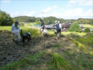 10月 稲刈り