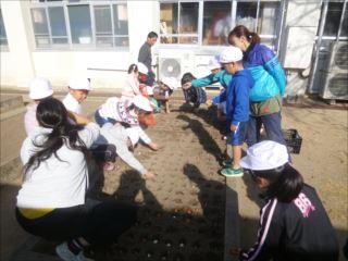 2000個の球根を植えました。毎年、4月に入学する新一年生を色とりどりにお出迎えします。